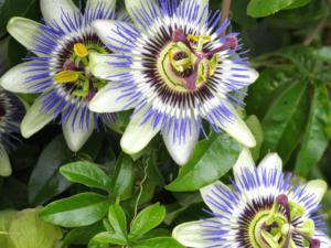 Zelišča za blaženje anksioznosti: Zdravilna pasijonka
